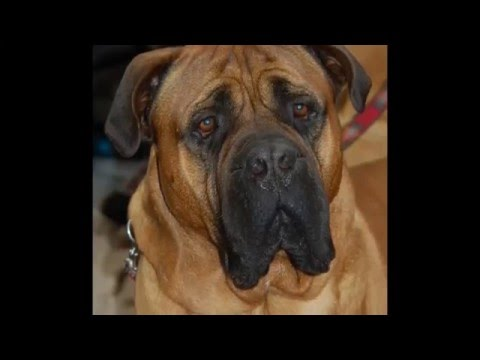 beautiful pictures Bullmastiff dog breed