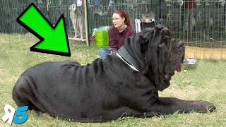 From a dog that weighed a whopping 343lbs to another that was the tallest dog in the world, we take a look at 5 of the Biggest Dog Breeds!Click Here To Subscribe! http://bit.ly/Random5       ↓↓↓↓↓↓Give us a like and share the video with friends.Legality Agreement Background music – YouTube Audio LibrarySongName – Fat Caps - AudionautixThis work is licensed under a Creative Commons Attribution 3.0 Unported License. http://creativecommons.org/licenses/b...If you liked the video, please subscribe for more videos every week!Subscribe HERE: http://bit.ly/Random5Like us on Facebook – http://www.facebook.com/random5media