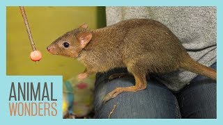 Training Our Bettong! by Animal Wonders