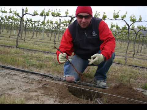 How to grow grapes planting new grape vine for good pinot noir wine in new zealand