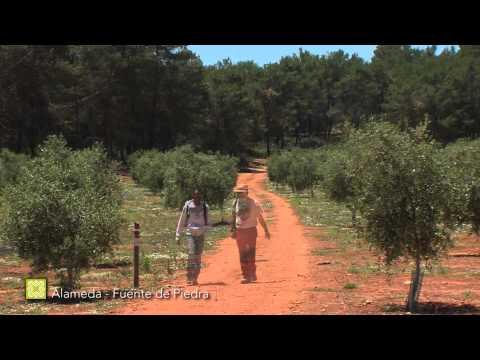 Der Große Wanderweg Málagas. Etappe 17: Alameda – Fuente de Piedra (Deutsch)