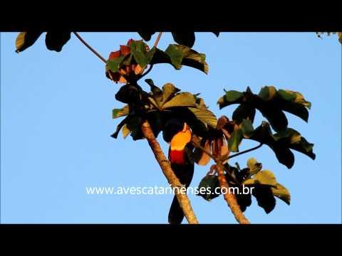 Tucano-de-bico-preto - Cristiano Voitina