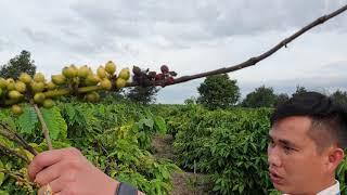 Phục hồi vườn cà phê 8 năm tuổi bị bệnh trên 80%