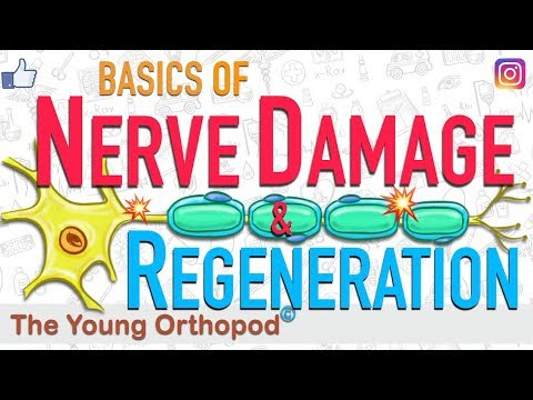 Nerve Regeneration | Wallerian Degeneration | Nerve Damage | ANIMATION | Neuron | The Young Orthopod