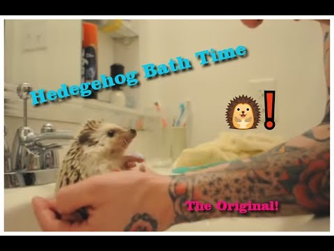 hedgehog - Max's bath time. Including hedgehog freakout, calm down, scrubbing, sniffing, sneezing, tattoos, and split tongue. Comments/Questions Answered: http://www.yo...