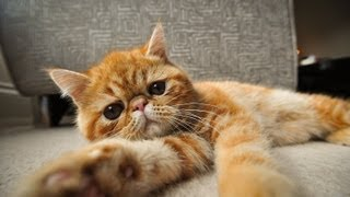 A Day In The Life Of Mila The Exotic Shorthair Kitten 1