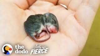 Tiny Baby Mouse Found Tucked Into Blankets | The Dodo Little But Fierce by The Dodo