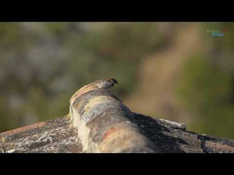Birding Málaga. Ver aves en el Arroyo de la Ventilla (Arriate)