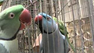 Video This is my talking Parrots,. MP3, 3GP, MP4, WEBM, AVI, FLV Juni 2019