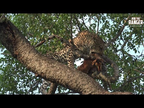 Young Female Leopard With An Impala Lamb (Presented By Quest Acquired) видео
