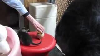 Koko The Gorilla Gets A New Pet Kitten – So Adorable