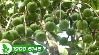 Trồng trọt | Khí hậu ở Cao Phong - Hòa Bình có phù hợp để trồng mắc ca hay không?