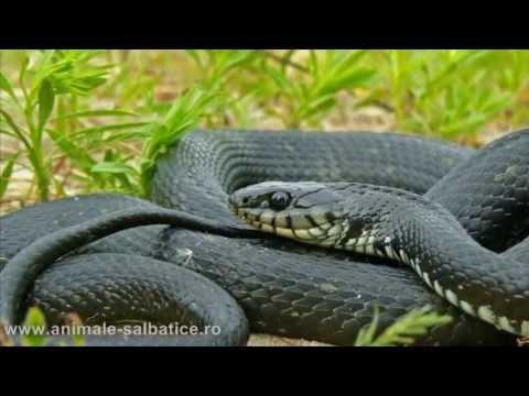 Speciile de serpi din Romania