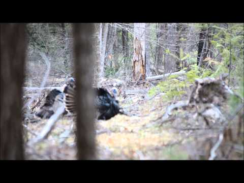 Turkey Hunting in Maine- Jakes 5/2/2013