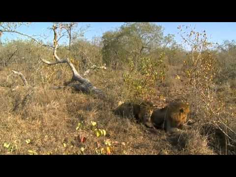 Video Sunrise Drive Lions With Warthog Kill 6/14/2015 download in MP3, 3GP, MP4, WEBM, AVI, FLV January 2017