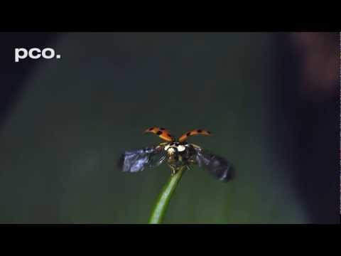 Ladybug take off in slow motion