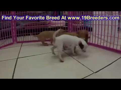Chihuahua, Puppies, For, Sale, In, Lexington, County, Kentucky, KY, Bowling Green, Owensboro, Coving