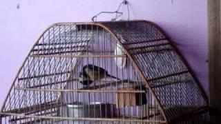 Download Lagu aves de costa rica  ( setillero )MOV01302 Mp3
