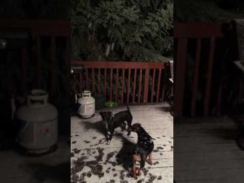 Ensilumi on hauskaa myös koirille – Nappaa lumihiutale suuhun