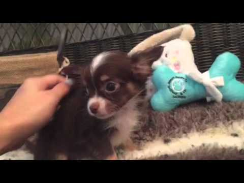Handsome Longhair Chihuahua Puppy