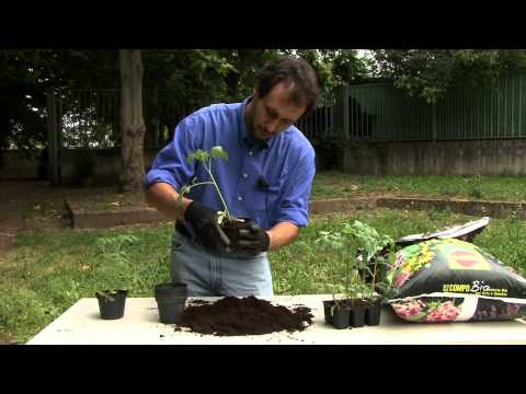 Coltivare pomodori in vaso
