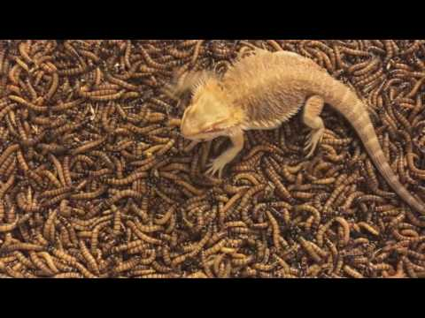 2000 Superworm unboxing/Bearded dragon feeding frenzy!