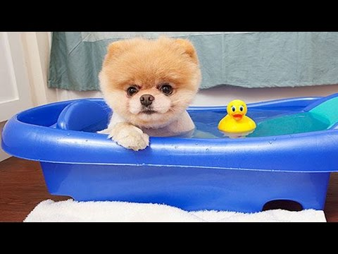 Boo - The World's Cutest Dog Video Compilation | Pomeranian Puppies cute pet