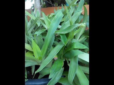 หญ้าปักกิ่ง สมุนไพรรักษามะเร็ง วรากรสมุนไพร โทร 0821515014, ID line varakhonherb