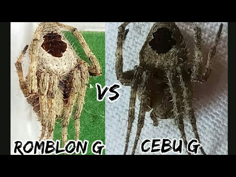 Cebu Derby spider vs romblon derby spider who's the best / spider fight