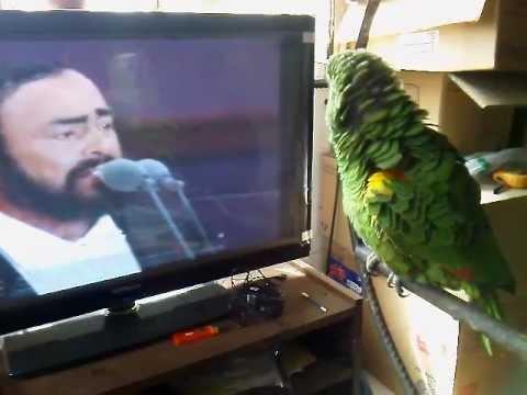 divertente pappagallo imita pavarotti