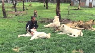 Tygrys powstrzymuje atak na swojego opiekuna! To się mogło źle skończyć.