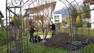 #595 Wie pflanze ich einen Grossbaum Teil 6v11 - Der Baum wird ausgerichtet