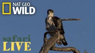 Safari Live - Day 173 | Nat Geo Wild by Nat Geo WILD