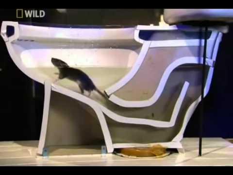 實驗告訴你!老鼠如何從馬桶跑到你家中!