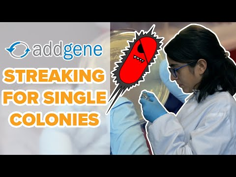 Streaking for Single Colonies