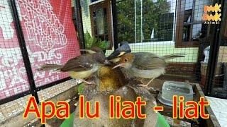 Download Video Melihat burung makan dari dekat | Sirtu | Mantenan mini | Prenjak | Ciblek MP3 3GP MP4