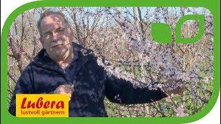 Pfirsichblüte und Züchtung bei Lubera