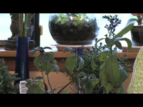 Flower Gardening Tips : How to Grow Common Heliotrope (Heliotropium Arborescens)