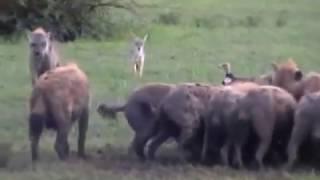Linh cẩu đánh sư tử.flv