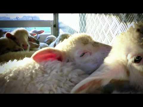 La vita degli agnelli in un'investigazione di Animal Equality