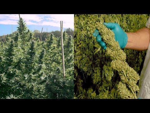 WeedMD Outdoor Harvest Inside Look - Great Buds