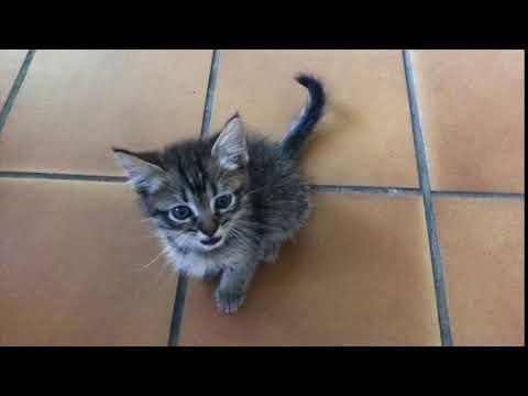 Maullido del Gatito más ADORABLE del mundo