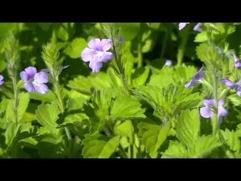 Flores do Sertão – Florzinhas Roxas