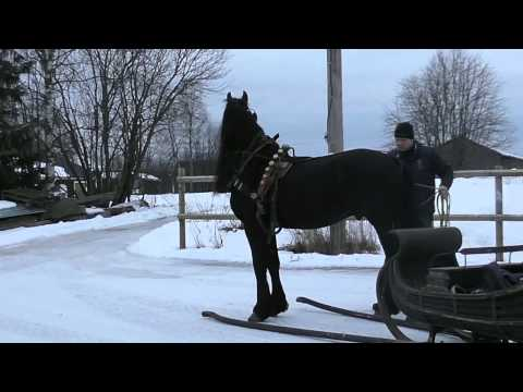 Friesian Stallion Gelf ´fan Great Beckum´
