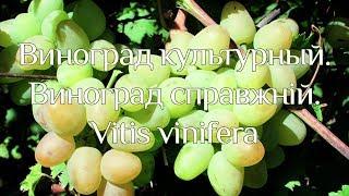 Рослина Виноград