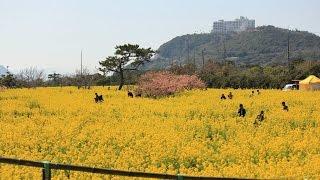 田原市菜の花2015(Tahara traveling 2015 )