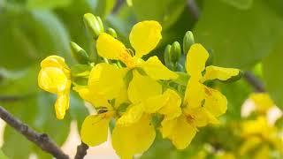 Chuẩn bị chu đáo điều kiện tổ chức Lễ hội hoa Anh Đào - Mai Vàng Yên Tử và Triển lãm cây cảnh nghệ thuật Yên Tử lần thứ 2