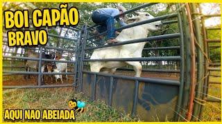 BOI BRAVO CAPÃO PULANDO
