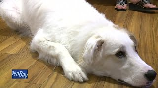 The residents at Carolina Assisted Living Home in Appleton gained a new companion Thursday. Faith, a purebred Great Pyrenees, moved into the facility as a companion and therapy dog.