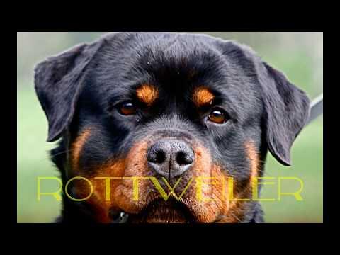 videos de pelea de perros pitbull: